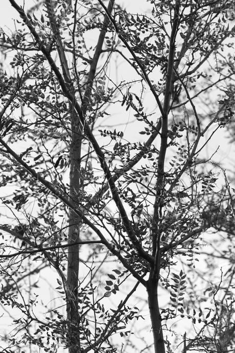 Robinia [37004BC01]