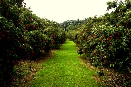 where to pick fruit in south africa litchis