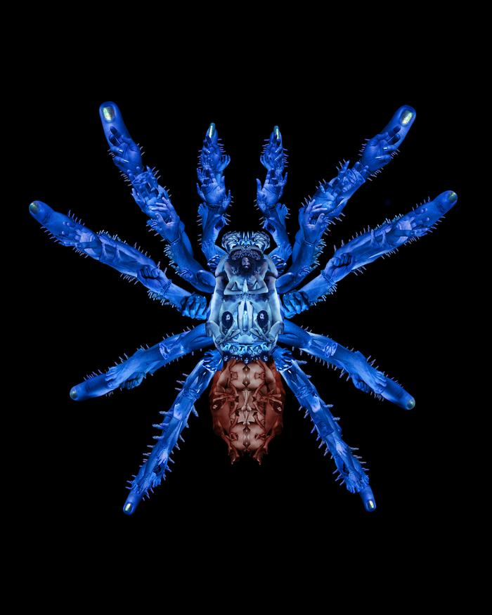 Cobalt Blue Tarantula (portrait of Don Pablo Pedro) 2013-18