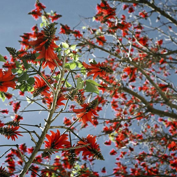 Coral Tree | Camden Mansions | Tamboerskloof | Cape Town | South Africa