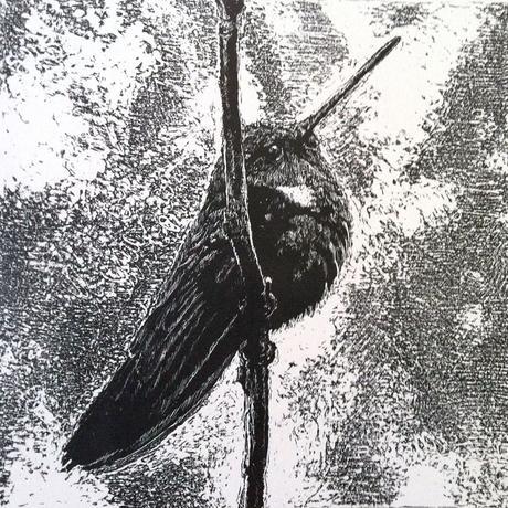 thumbnail for Black Inca Hummingbird (Coeligena prunellei)_VU_ est. pop 4070-8720