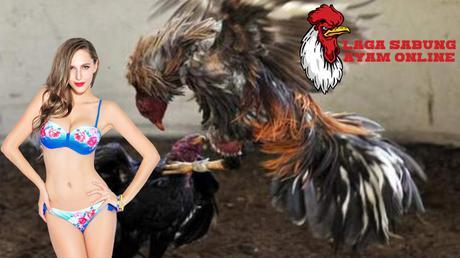 Ini Dia Lebih yang di Gemari Penjudi Ayam Laga di Taruhan yang Membawa-bawa Online Judi Laga Ayam On