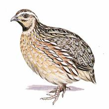 Common Quail  Quail Bird Male