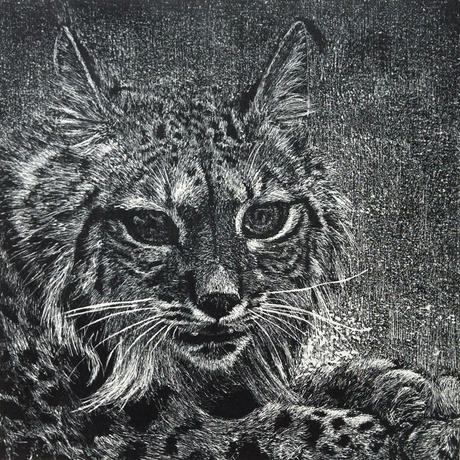 thumbnail for Iberian Lynx (Lynx Pardinus)_CR_est. pop.100-150