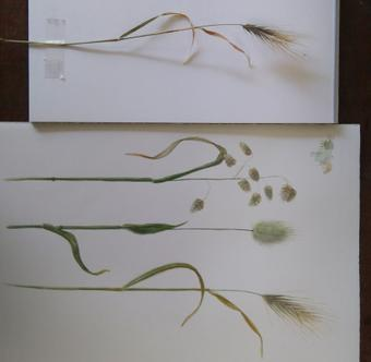 thumbnail for Grasses of Muizenberg Park (Work in progress)