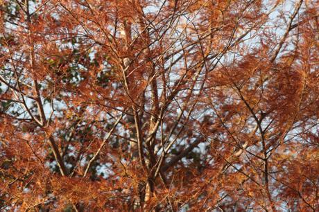 Swamp Cypress [33001]