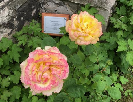 Mildmay Rose in bloom Spring 2018