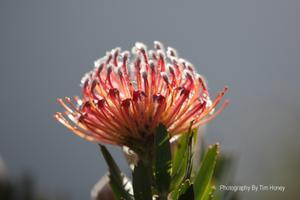Scarlet Ribbon (Leucospermum glabrum) at Kirstenbosch Cape Town [43008]