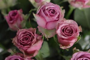 Roses [46006]