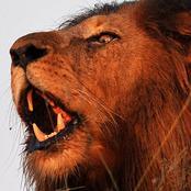 lion__0615.jpg.jpg