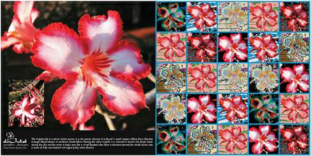 Impala lily greeting card