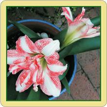 Amaryllis lily coaster
