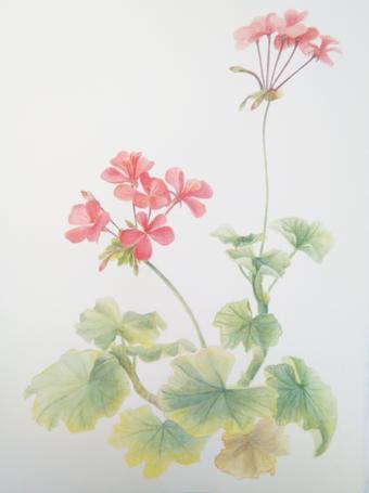 thumbnail for Pelargonium (red)
