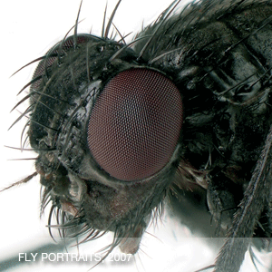 Fly Portraits (Digital photographs)