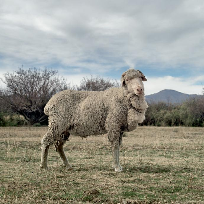 Merino sheep. Graaff-Reinet,Eastern Cape, 15 May 2010