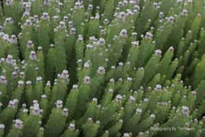 Wynberg Spiderhead (Serruria cyanoides) at Kirstenbosch Cape Town [41002]