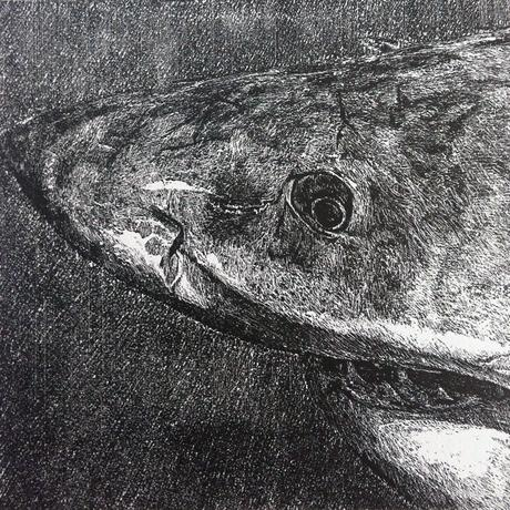 thumbnail for Great White Shark (Carcharodon carcharis)_VU_est. pop. 800-2600
