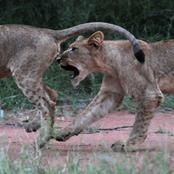 lions__1130.jpg.jpg