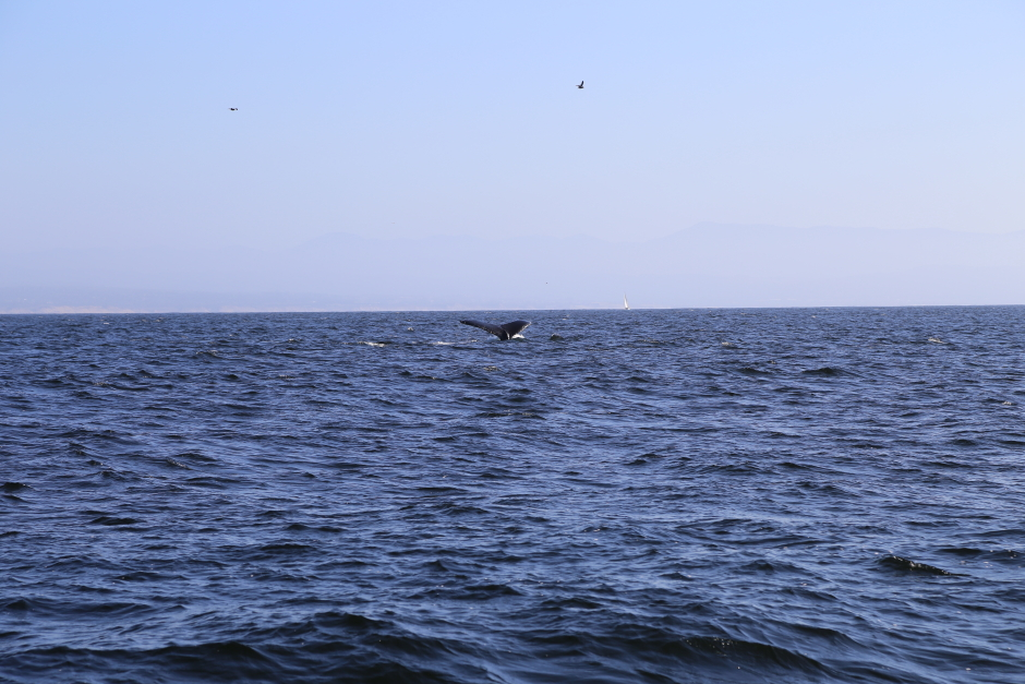 Humback Whale showing off his tail