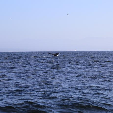 thumbnail for Humback Whale showing off his tail
