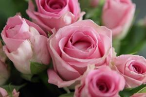 Roses [21013]