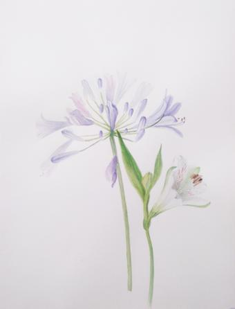 thumbnail for Agapanthus and Alstroemeria Study