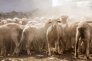 Thumbnail for Marino Sheep of the Karoo