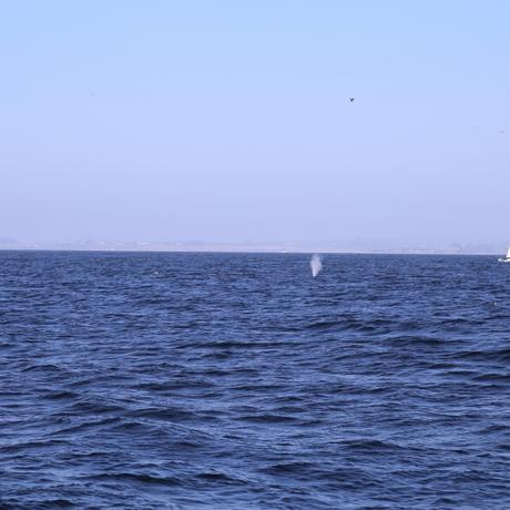 thumbnail for Humpback Whale Spume alongside a lucky sailboat