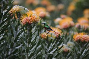 Orange Pincushion with Southern Double-Collared Sunbird [52004]