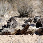 hyena_0859.jpg