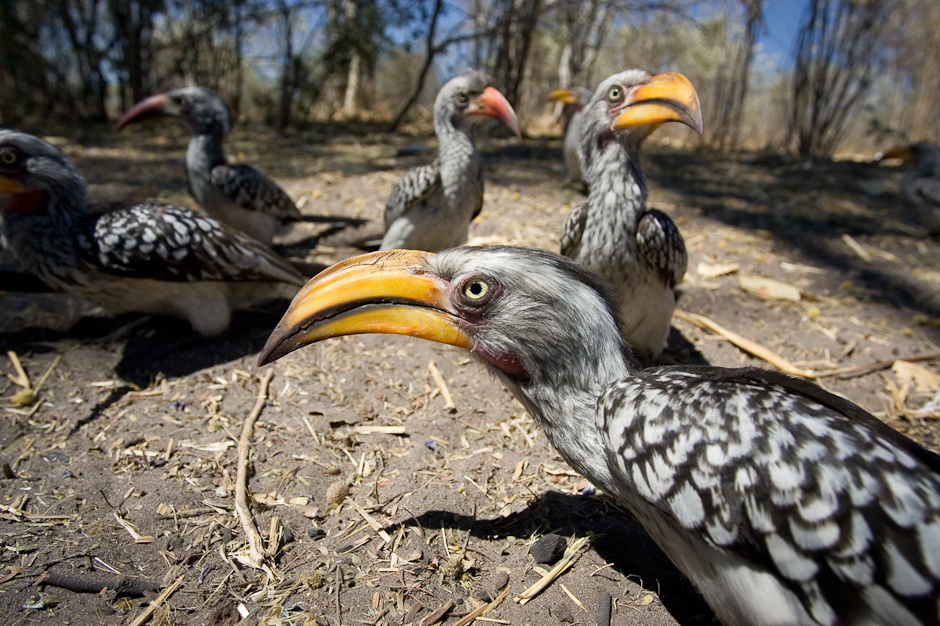 Hornbill curiosity