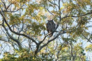 Spotted Eagle Owl [59005]
