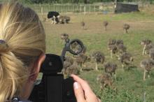 Karen shooting the ostriches - famous in the Oudtshoorn area