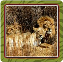 Lions in the Krugersdorp Lion Park