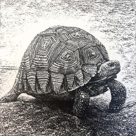 thumbnail for Ploughshare Tortoise (Angonoka Tortoise)_CR est. pop. 440-770