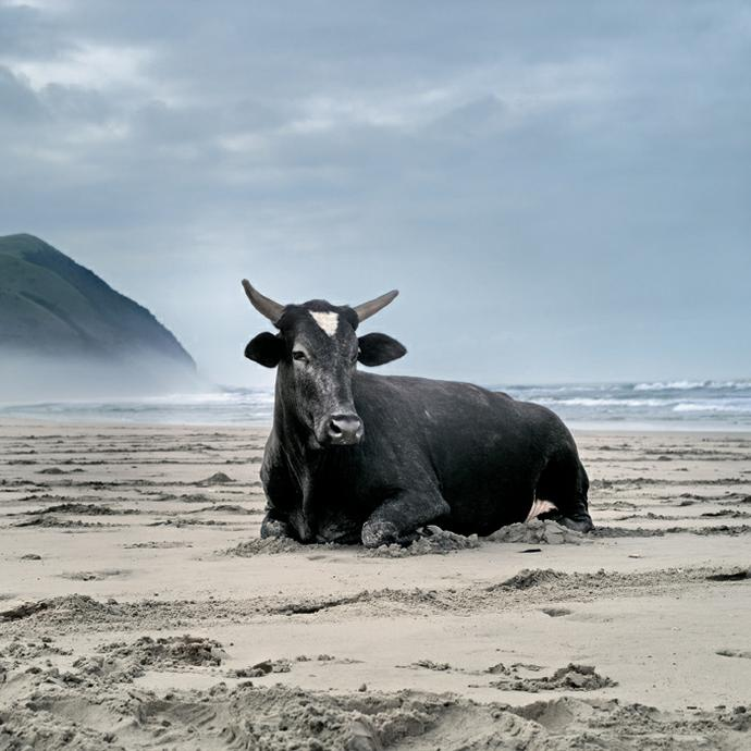 Xhosa cow on the shore. Mgazi, Eastern Cape, 19 May 2010