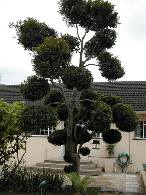 syzigium_topiary-1.jpg