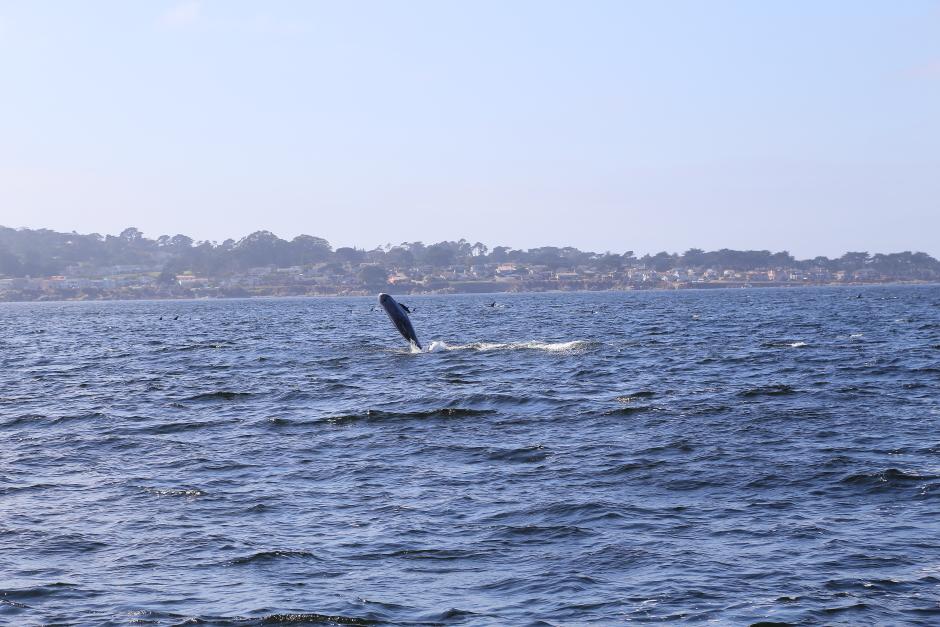 A Rissos Dolphin breaching