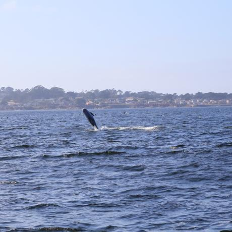 thumbnail for A Rissos Dolphin breaching
