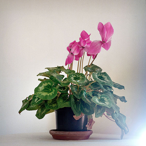 Cyclamen persicum | Green Point | Cape Town