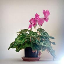 thumbnail for Cyclamen persicum | Green Point | Cape Town