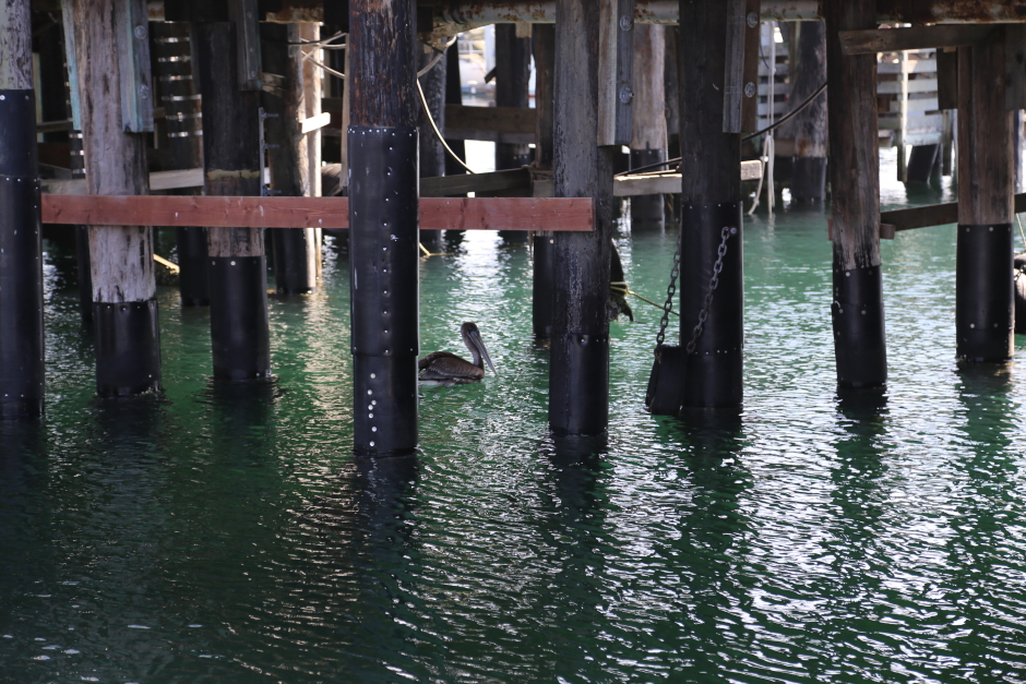 A California Brown Pelican chilling under the Monterey pier