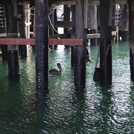 thumbnail for A California Brown Pelican chilling under the Monterey pier