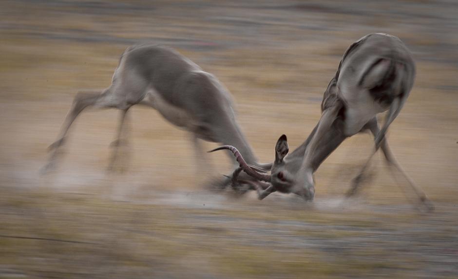 Impala fued