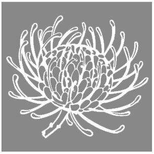 thumbnail for Protea pincushion